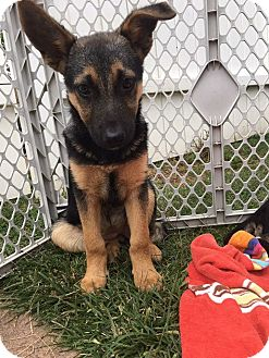 Shepherd (Unknown Type)/Terrier (Unknown Type, Medium) Mix Puppy for adoption in Lima, Pennsylvania - Avery