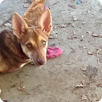 Adopt A Pet :: Bridget - Austin, TX