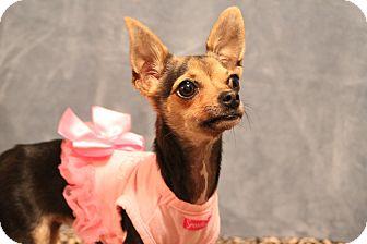 Chihuahua Dog for adoption in Yukon, Oklahoma - Minnow