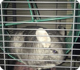 Chinchilla for adoption in Granby, Connecticut - Homer & Cooper