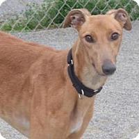 Adopt A Pet :: Fancy - Roanoke, VA