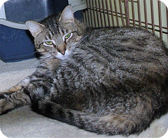 Domestic Shorthair Cat for adoption in Acme, Pennsylvania - WINNIE