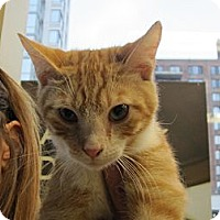 Domestic Shorthair Cat for adoption in New York, New York - Cremesicle