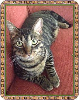 Domestic Shorthair Cat for adoption in Mt. Prospect, Illinois - Pepper