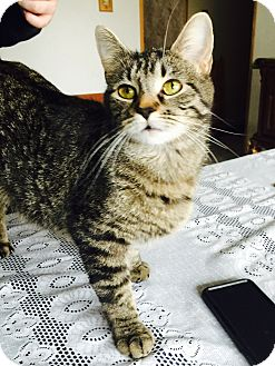 Domestic Shorthair Cat for adoption in Oak Lawn, Illinois - Kit Kat