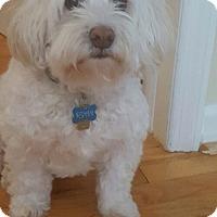 Adopt A Pet :: Ryan cockapoo - Pompton Lakes, NJ