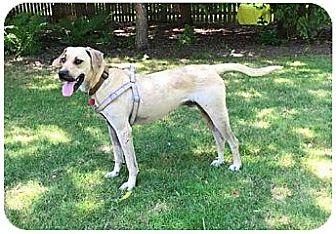 Labrador Retriever Mix Puppy for adoption in Union Grove, Wisconsin - Buddy-REDUCED FEE