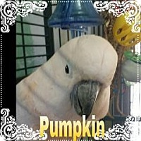 Adopt A Pet :: Pumpkin - Red Oak, TX