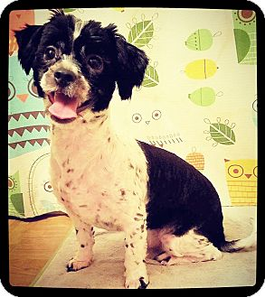 Yorkie, Yorkshire Terrier/Shih Tzu Mix Dog for adoption in Grand Bay, Alabama - Domino