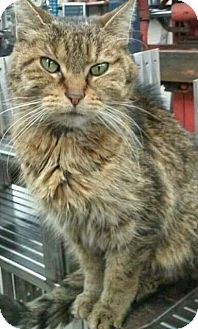 Domestic Shorthair Cat for adoption in Highland, Indiana - Suzy Q