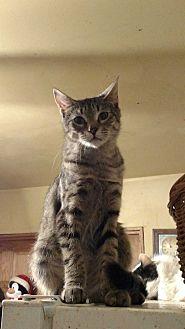 Domestic Shorthair Cat for adoption in Benton, Pennsylvania - Pine