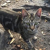 Adopt A Pet :: Teen Wolfie - St. Cloud, FL