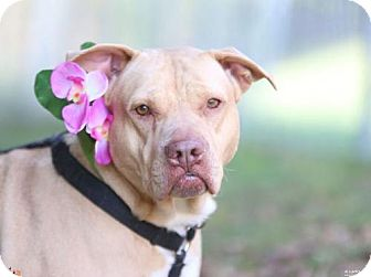 Pit Bull Terrier/Shar Pei Mix Dog for adoption in Atlanta, Georgia - Princess