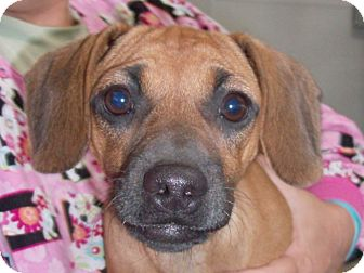 Chihuahua/Dachshund Mix Dog for adoption in Cut Bank, Montana - Jamie