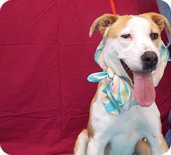 Beagle/Terrier (Unknown Type, Medium) Mix Dog for adoption in Fresno, California - Dallas