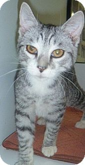 Domestic Shorthair Cat for adoption in Hamburg, New York - Sparkle