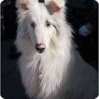 Adopt A Pet :: Icey - apache junction, AZ
