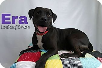 American Staffordshire Terrier/Labrador Retriever Mix Dog for adoption in Toledo, Ohio - Era