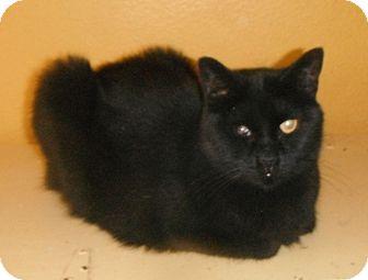 Bombay Cat for adoption in Houston, Texas - Tosha (special needs)