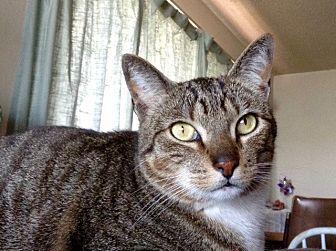 Domestic Shorthair Cat for adoption in Novato, California - Riley