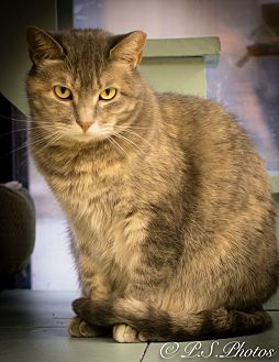 Calico Cat for adoption in Belton, Missouri - Elizabeth