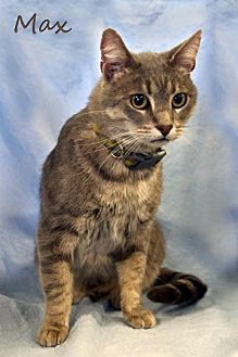 Domestic Shorthair Cat for adoption in Knoxville, Tennessee - Max the Cat  Male
