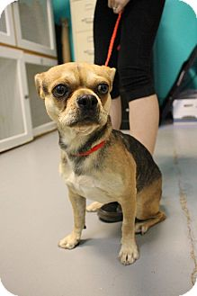 Pug/Chihuahua Mix Puppy for adoption in Las Vegas, Nevada - Tigger