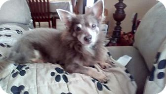 Pomeranian/Chihuahua Mix Dog for adoption in Tampa, Florida - TODD (LM)