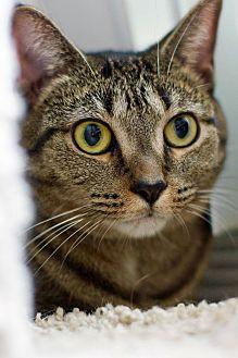 Adopt A Pet :: Miksa  - Troy, MI