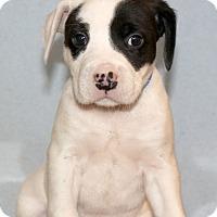 Adopt A Pet :: Goose - Waldorf, MD