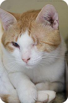 Domestic Shorthair Cat for adoption in Houston, Texas - EMILO