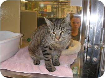 Domestic Shorthair Cat for adoption in Woodstock, Georgia - Olivia