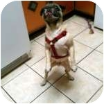 Pug Dog for adoption in Windermere, Florida - Joey