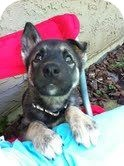 Husky/Shepherd (Unknown Type) Mix Puppy for adoption in Surrey, British Columbia - Missy