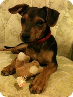 Manchester Terrier/Miniature Pinscher Mix Puppy for adoption in Phoenix, Arizona - Sonny