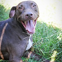 Labrador Retriever Mix Dog for adoption in Jackson, Mississippi - Richard