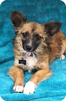 Pomeranian/Chihuahua Mix Puppy for adoption in Alta Loma, California - Ettie