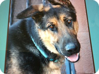 German Shepherd Dog Dog for adoption in Los Angeles, California - DIESEL VON DIEZ