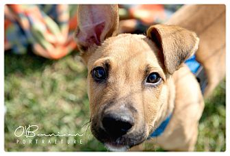 Terrier (Unknown Type, Medium) Mix Puppy for adoption in Baytown, Texas - Leeland