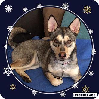 Siberian Husky Mix Dog for adoption in Media, Pennsylvania - MAVERICK