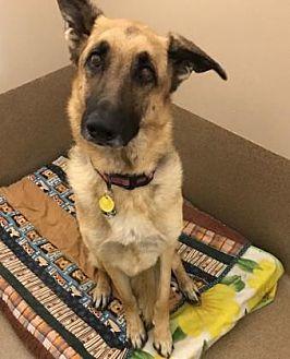 German Shepherd Dog Dog for adoption in Scottsdale, Arizona - Brisa