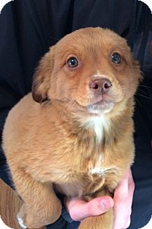 Terrier (Unknown Type, Medium)/Retriever (Unknown Type) Mix Puppy for adoption in Kittery, Maine - Lenny