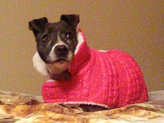 American Staffordshire Terrier/Pit Bull Terrier Mix Dog for adoption in Union City, Tennessee - Priscilla