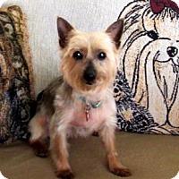 Adopt A Pet :: Tillulah - Sinking Spring, PA
