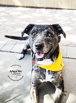 Catahoula Leopard Dog Mix Dog for adoption in Charlotte, North Carolina - Kala (Tarzan Litter Mom)