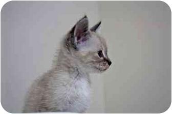 Siamese Cat for adoption in Little Rock, Arkansas - Luna