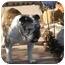 Photo 3 - English Bulldog Dog for adoption in Gilbert, Arizona - Millie