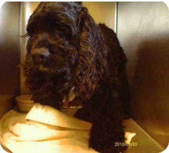 Cocker Spaniel Mix Dog for adoption in Yuba City, California - 02/20 Gunner