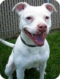 Pit Bull Terrier/Terrier (Unknown Type, Small) Mix Dog for adoption in Lincolnton, North Carolina - Olive