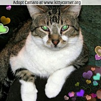 Adopt A Pet :: Camaro - Liverpool, NY